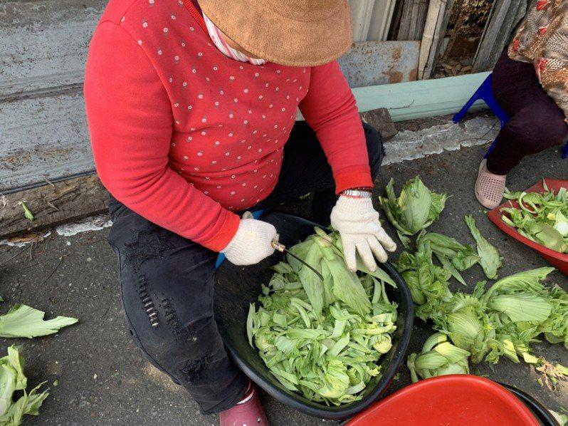 社區志工忙著將採收起來的芥菜削成片狀。記者陳苡葳/攝影