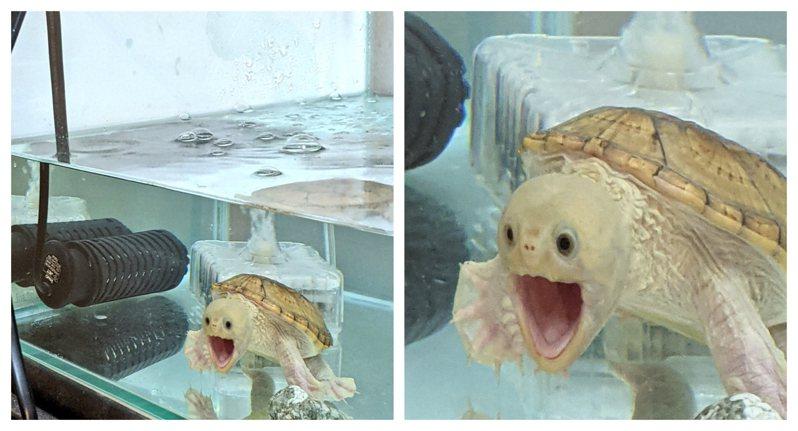 一名日本網友分享家中寵物龜看見相機的「超浮誇表情」,有如刻意模仿名畫《吶喊》而擺出的驚嚇表情,讓萬名網友看了全笑歪。圖擷自@Yakyu147Ab