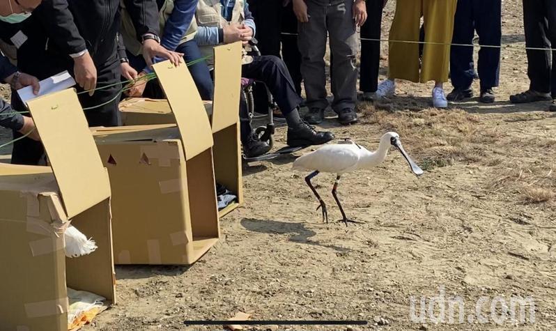 台南市長黃偉哲中午在安南四草保護區,野放三隻感染肉毒桿菌後康復的黑面琵鷺。記者修瑞贏/攝影