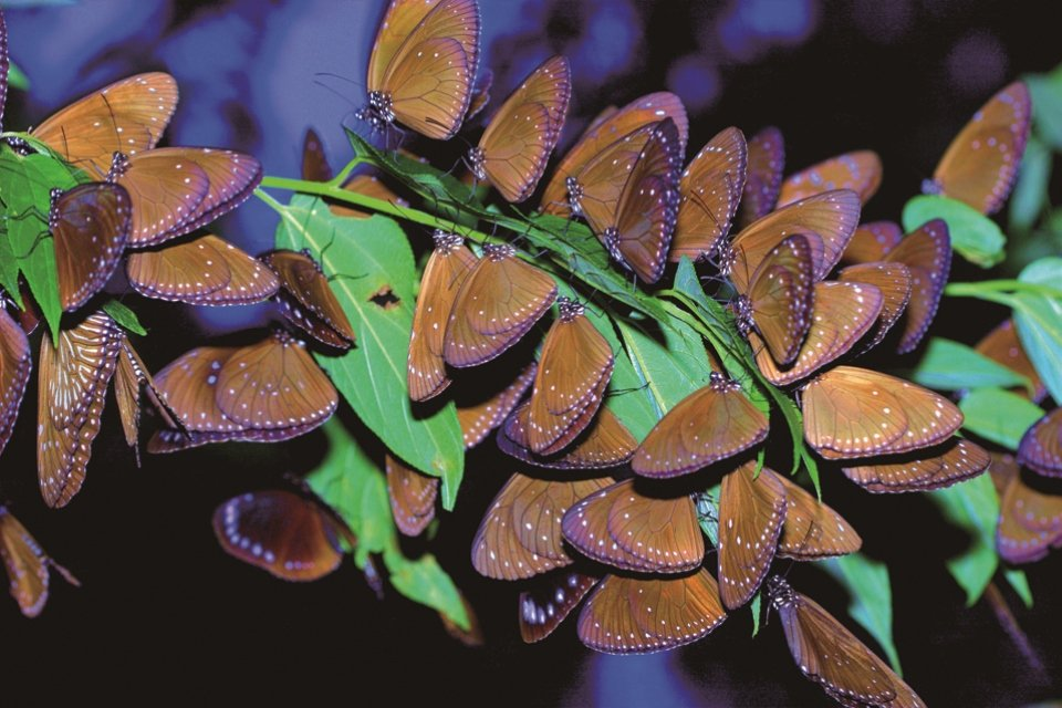 2月正值茂林紫斑蝶大爆發期。圖/綠生活提供