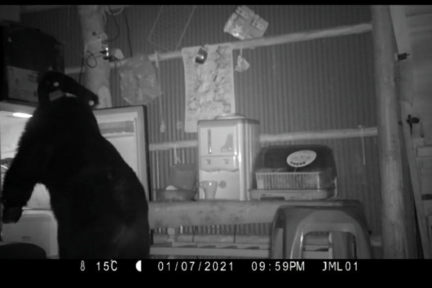 去年野放黑熊 闖農舍開冰箱