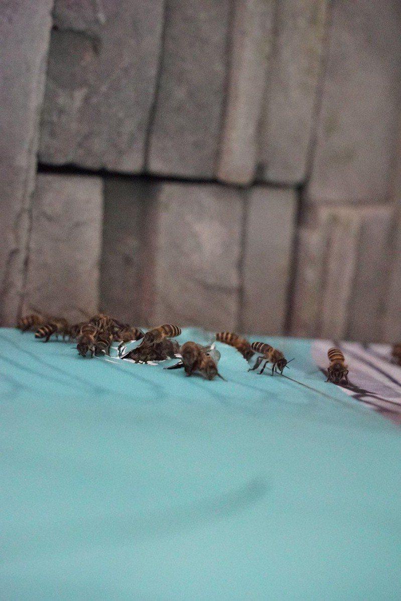 台北市立動物園昆蟲館的「我家蟲住民」特展,竟然吸引來本土「東方蜂」棲息。圖/台北市立動物園提供