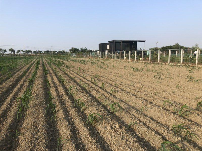 水情告急,農田停灌。圖為大台南硬質玉米田現況。圖/台南市政府農業局提供