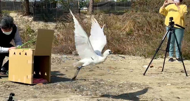 中毒黑面琵鷺獲救復原, 嘉義縣政府農業處長許彰敏上午在布袋鎮魚塭野放重返大自然。圖/ 嘉縣府提供