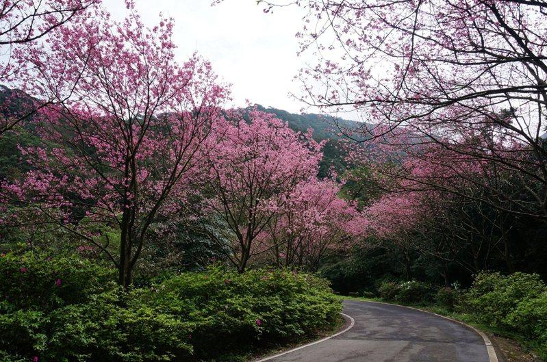 景觀處長林俊德表示,針對郊山型既有綠廊,如三芝櫻花大道,除了配合節慶搭配燈飾營造特色主題,並在人行步道增添綠化腹地、透過複層植栽增添季節變化。圖/新北市景觀處提供