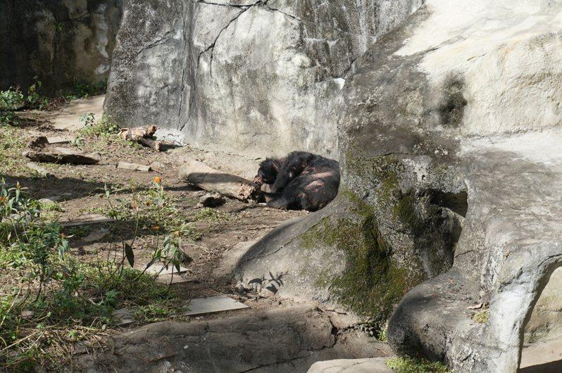 北市議員吳世正昨會勘動物園,一隻高齡、脫毛的灰熊躺在空地上曬太陽。記者楊正海/攝影