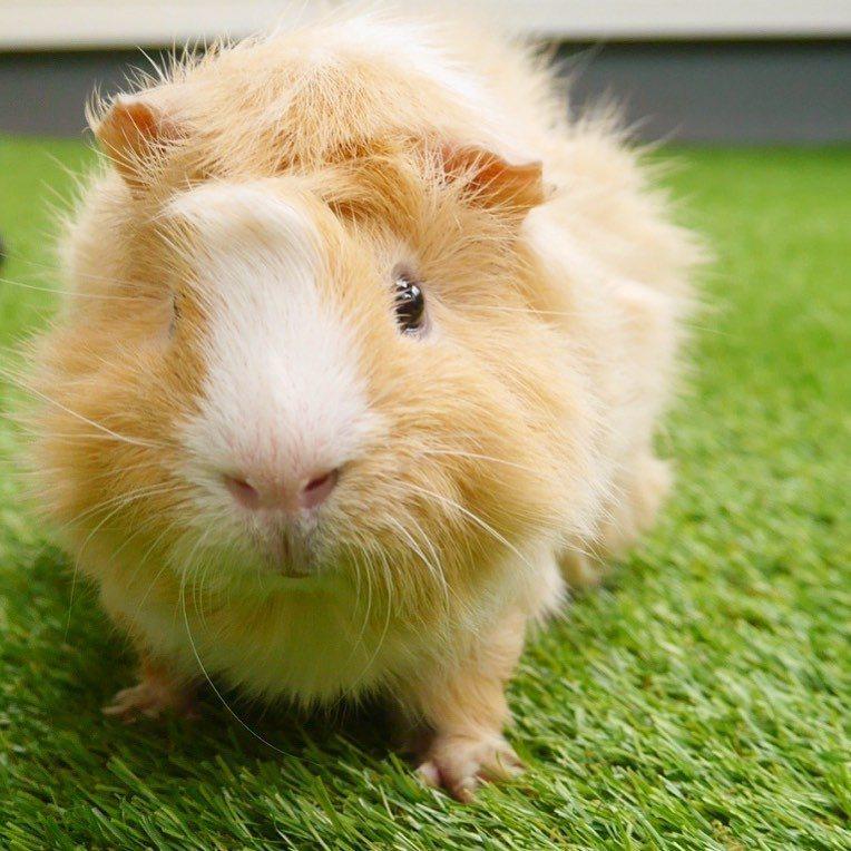 導演的姊姊見里瑞穂所飼養的天竺鼠。圖/擷自IG