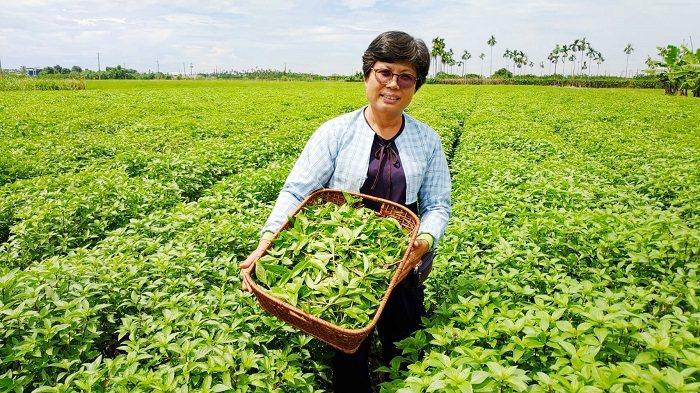 禾佳有機農產運銷合作社理事主席黃淑女指出,羅勒(九層塔)全國產地面積約250公頃...