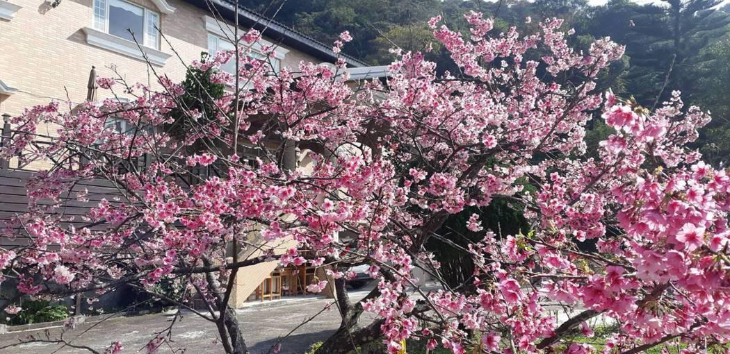 2020盛開時的櫻花樹/阿桂的家珍藏