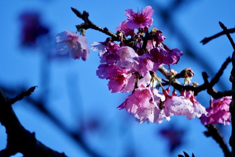 櫻花王初綻櫻花,微弱的陽光下,深粉紫色的櫻花,本尊是淡淡粉色的。
