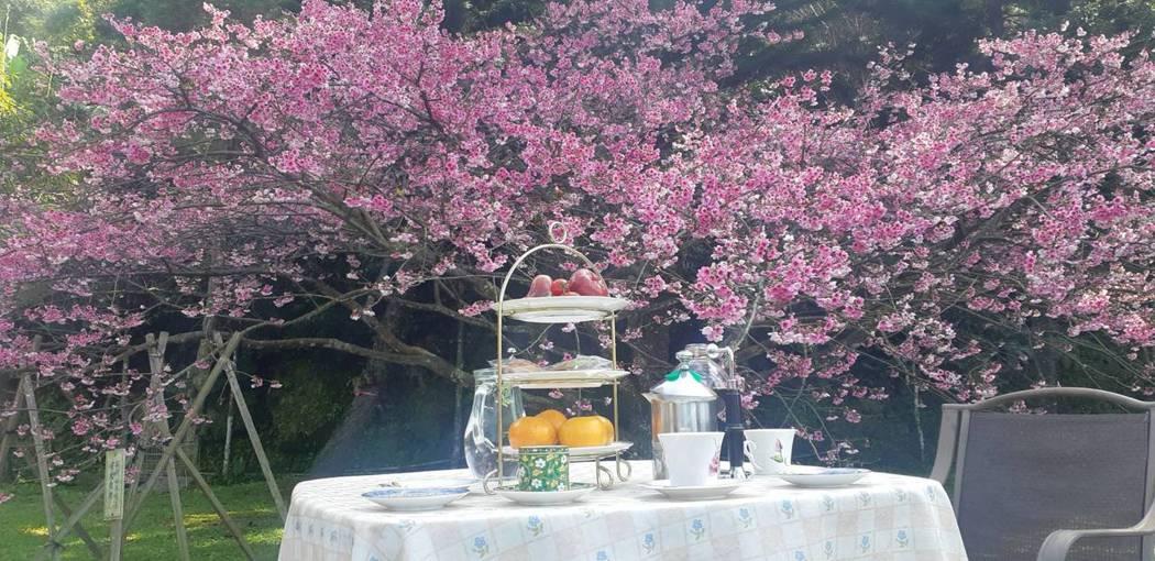 2020櫻王花盛開,樹下美食饗宴(阿桂的家珍藏畫面)