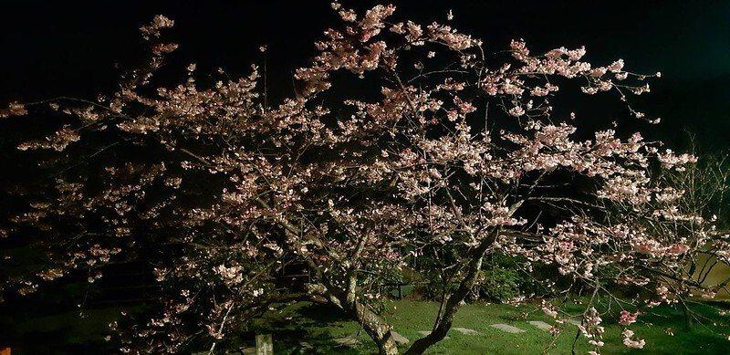 櫻王2020盛開時的夜景,下次入住時的期待能欣賞夜櫻之美