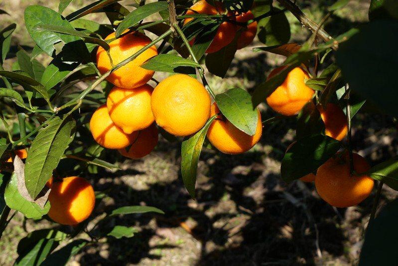 櫻花林裡的一顆橘子樹,下午茶水果茶就摘下它,現做現沖新鮮橘茶!