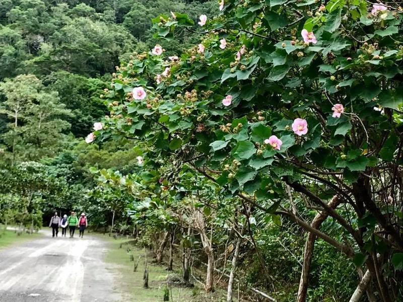 屏東恆春半島獅子鄉的雙流國家森林遊樂區山芙蓉盛開,美麗樸實的花朵,將冬天的山景妝點得繽紛動人。記者潘欣中/翻攝
