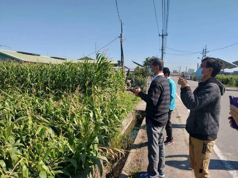 台南市硬質玉米及青割玉米強風倒伏,公告為農業天然災害損失,即日起接受申請。圖/農業局提供
