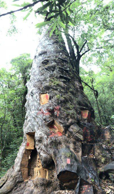 宜蘭地檢署偵辦山老鼠案,盜伐過程在參天神木留下千瘡百孔痕跡,是許多第一線巡山人員心中的痛。記者張議晨/翻攝