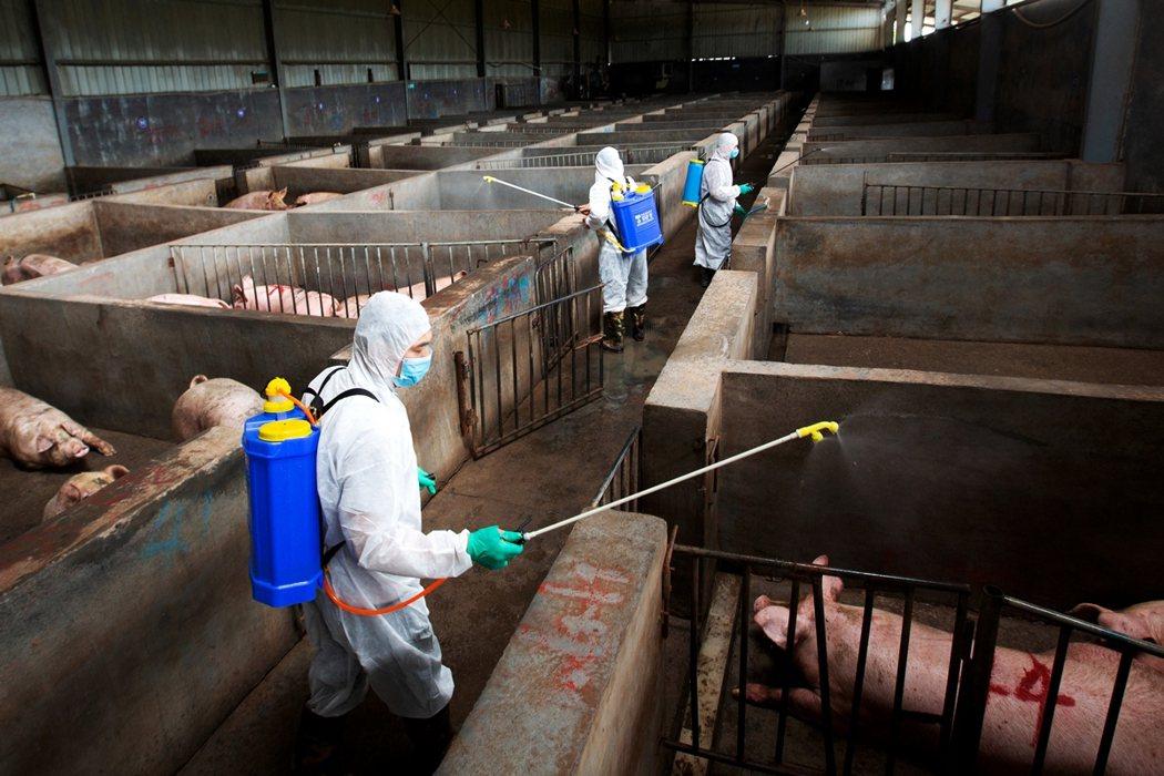 《路透社》近期發出報導,質疑在華南地區擴散的新一波非洲豬瘟疫情,疑似是養殖業者私...