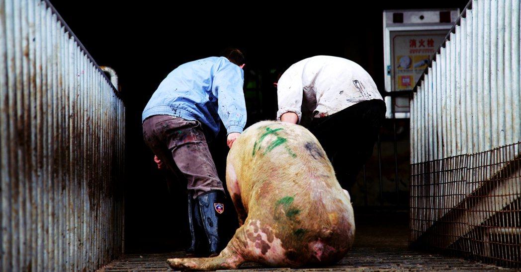 2018年開始嚴重衝擊國際豬肉經濟的中國非洲豬瘟疫情,在沉寂3個多月後,21日晚...