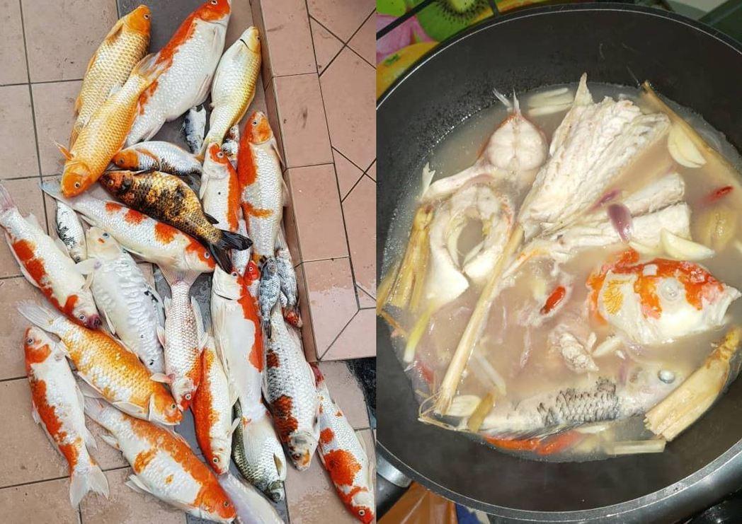 馬來西亞一名女子近日因為家中飼養的錦鯉死亡,為了不要浪費,把牠們煮成魚湯喝下肚。