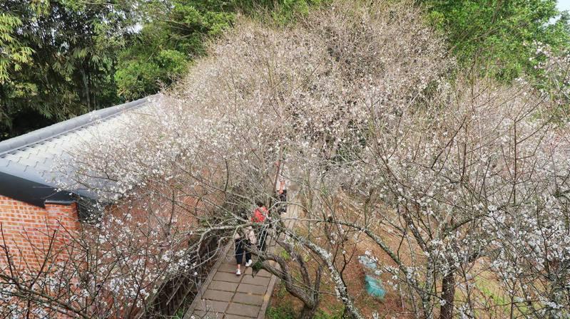 嘉義縣梅山公園梅花綻放逾6成,陽光穿越梅樹枝椏美景動人。圖/取自梅山鄉公所臉書