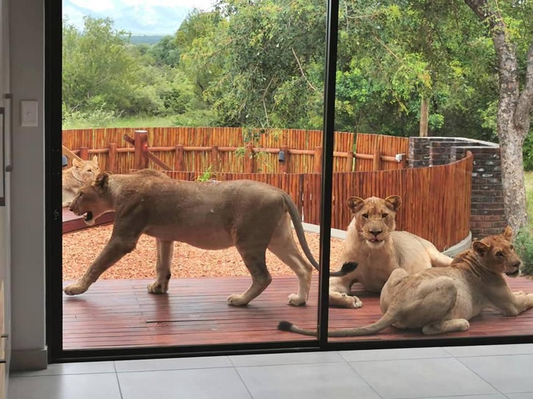 大衛一打開門,即意外發現發現6隻獅子成不速之客搶先入住。圖/取自David De...