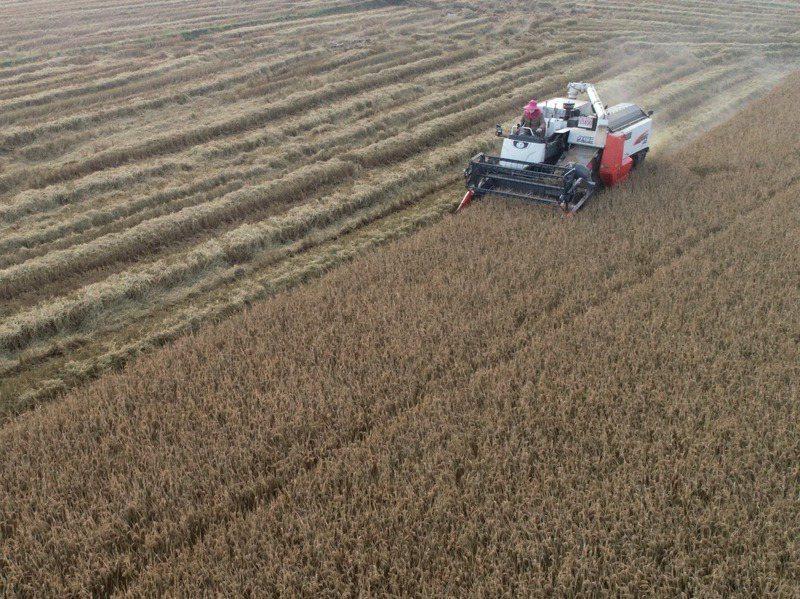 因應疫情與天災需求,中國大陸30年來首度向印度購買碎米。圖為安徽農民駕駛收割機在稻田裡收割晚稻。新華社