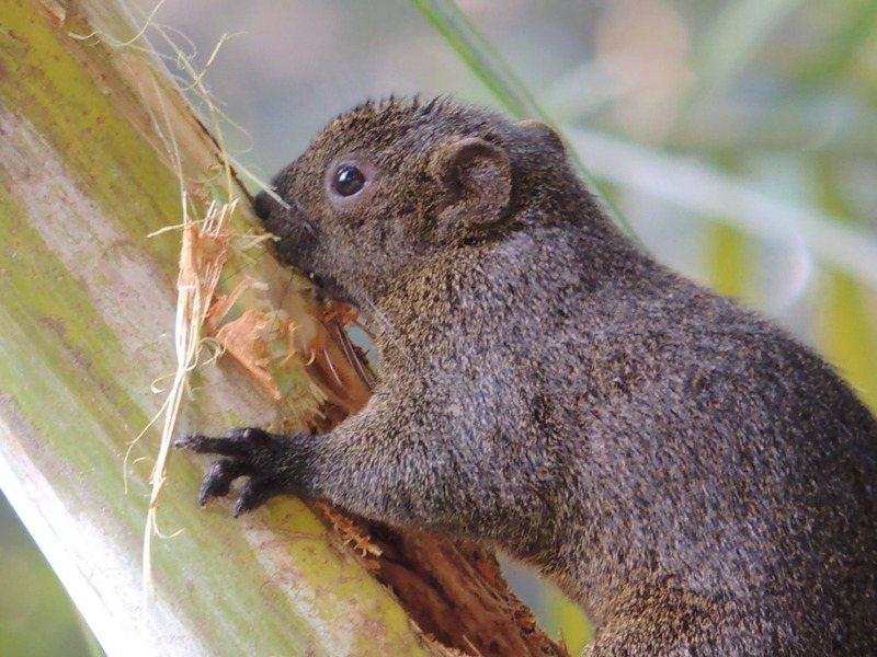 台南公園樹種多,吸引松鼠棲息,有民眾常在此餵食鴿子,松鼠也會搶食。圖/讀者提供