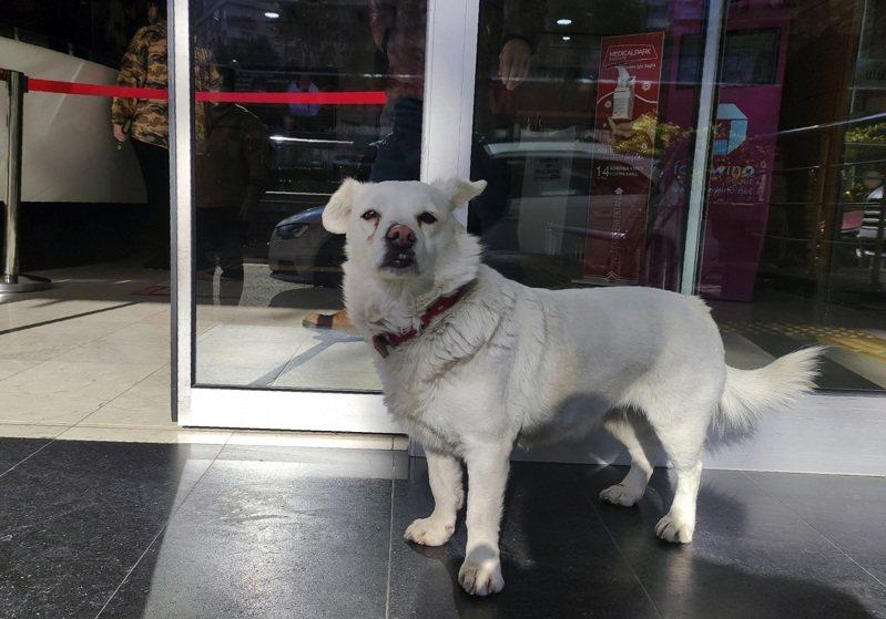 土耳其特拉布松居民森圖爾克飼養的狗狗「珠珠」,14日見到主人被救護車載走,竟一路跟到醫院,更在院外等上6天。美聯社