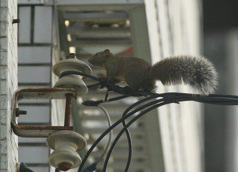 松鼠常穿梭在電線上,牠們這個舉動常誤觸配電開關或電線短路而停電。記者劉學聖/攝影