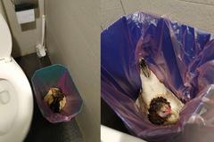 廁所垃圾桶有「活雞」嚇壞民眾 知情人笑:牠喜歡在那裡孵蛋
