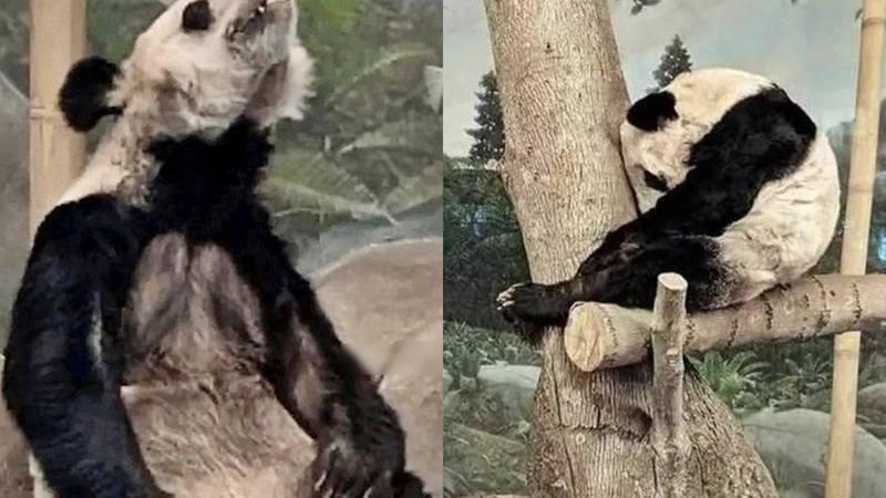 有大陸網友指出兩隻旅美熊貓疑似遭到虐待。圖/翻攝自微博