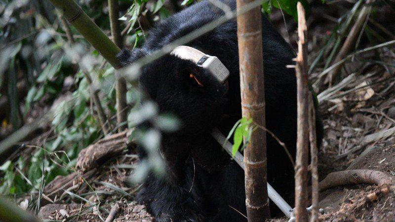 黑熊711昨晚在台中山區再度誤中陷阱獲。/東勢林管處提供