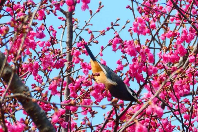 南投縣仁愛鄉奧萬大櫻花綻放,吸引山鳥覓食嬉戲。圖/南投林管處提供