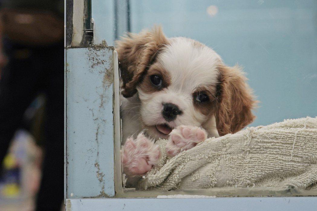 全球首例寵物染疫案例發生在香港,圖為去年3月香港一家寵物店內的一隻寵物狗。美聯社
