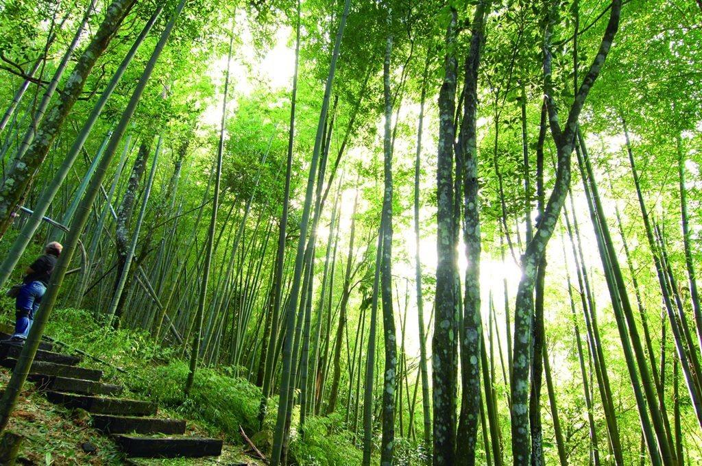草嶺竹林聞名遐邇是健行休閒最佳選擇。 圖/雲林縣府提供