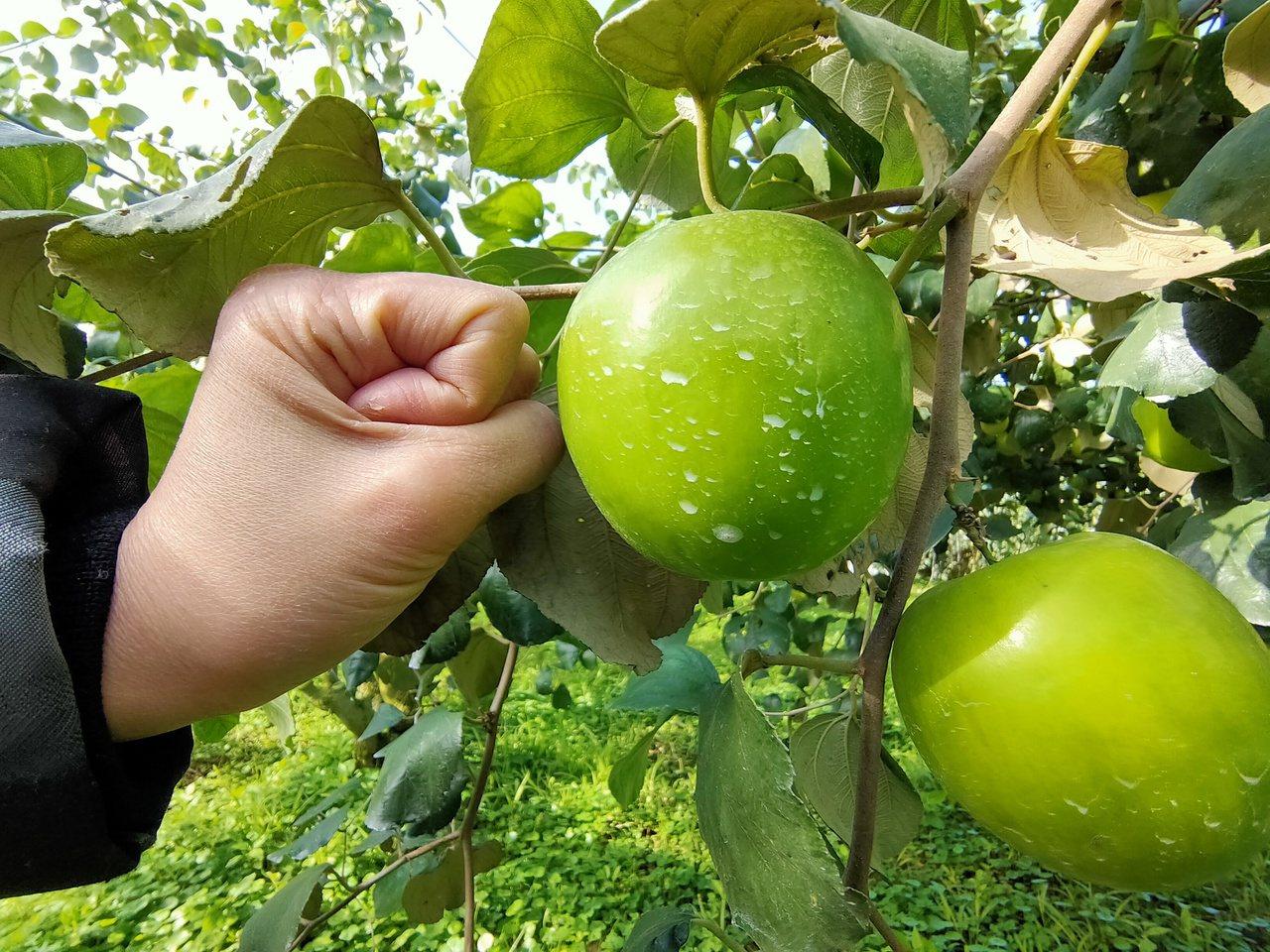 南投縣國姓鄉蜜棗果實大如青蘋果(果上白粉為防蟲的天然矽藻土)。 圖/賴香珊 攝影