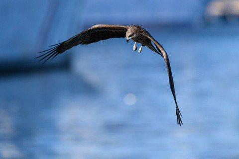 黑鳶(學名:Milvus migrans),俗稱麻鷹、老鷹。 圖/謝季恩提供