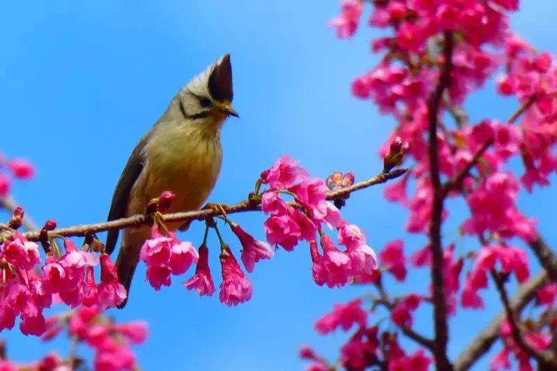 南投縣仁愛鄉奧萬大櫻花綻放,吸引山鳥覓食嬉戲。 圖/南投林管處提供