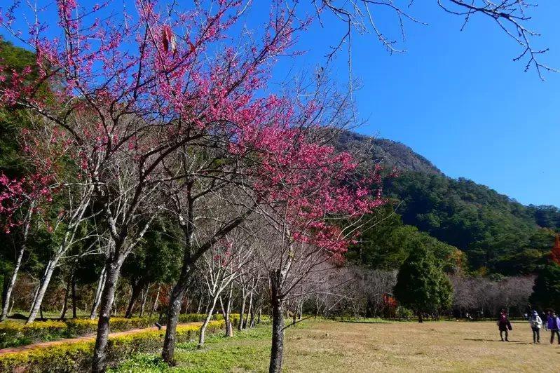 南投縣仁愛鄉奧萬大山櫻花綻放,已進入最佳觀賞期。 圖/南投林管處提供