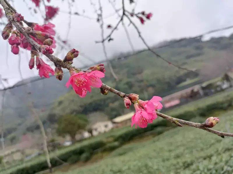 南投縣信義鄉草坪頭櫻花季元月30日登場,活動至3月14日止。 圖/信義鄉公所提供