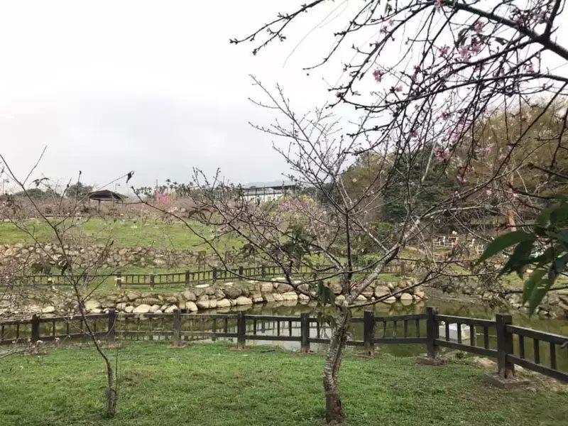 南投縣鹿谷鄉石馬公園櫻花目前花開約2成,預計農曆年前盛放。 圖/南投縣政府提供