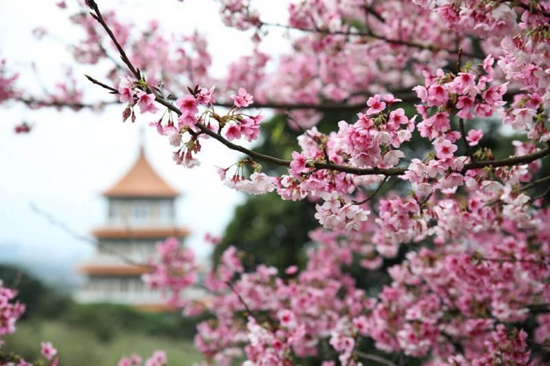 淡水無極天元宮近來櫻花盛開。 圖/新北市景觀處
