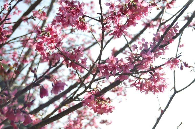 雲林古坑鄉草嶺地區櫻花已漸盛開,鮮豔的粉紅色花朵令人心曠神怡。 圖/陳苡葳 攝影