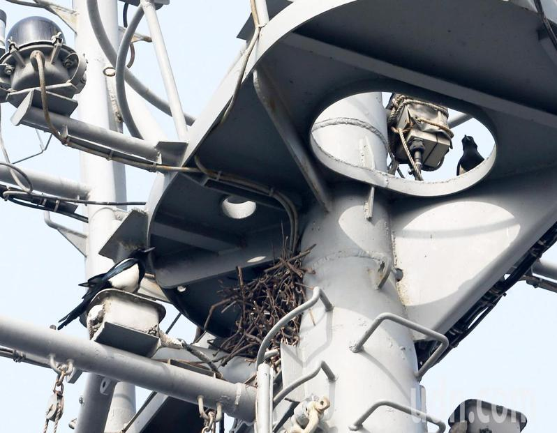 海軍今天邀請媒體到左營軍港參訪春節加強戰備演練,記者發現其中一艘參與操演的552大湖軍艦桅桿上有一對喜鵲在上面築巢,也讓人聯想是否是太久沒有出港才有鳥類築巢。記者劉學聖/攝影