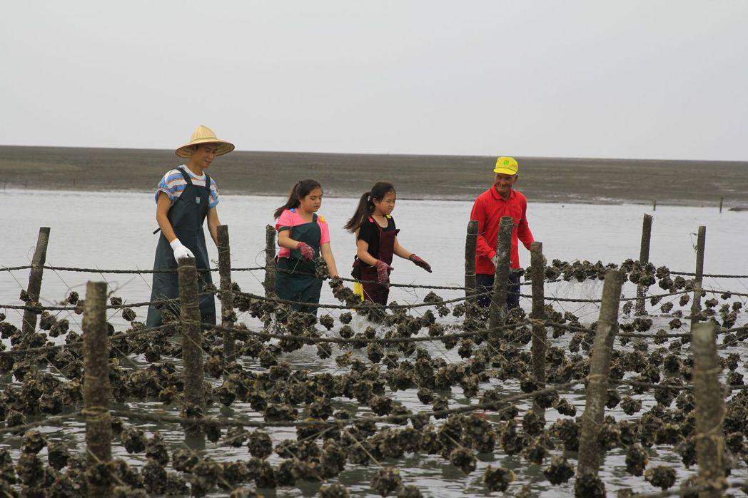 浩子(左)與小姊妹花江軍、江南在蚵田幫忙,學習洗掉附著在牡蠣外殼吸食蚵肉的蚵螺,...