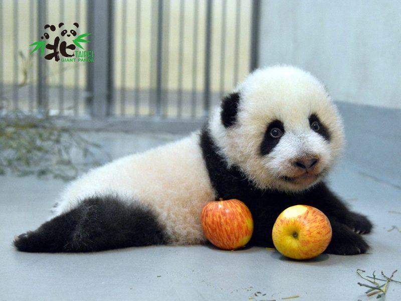 大熊貓寶寶「圓寶」模樣討喜。圖/台北市立動物園提供