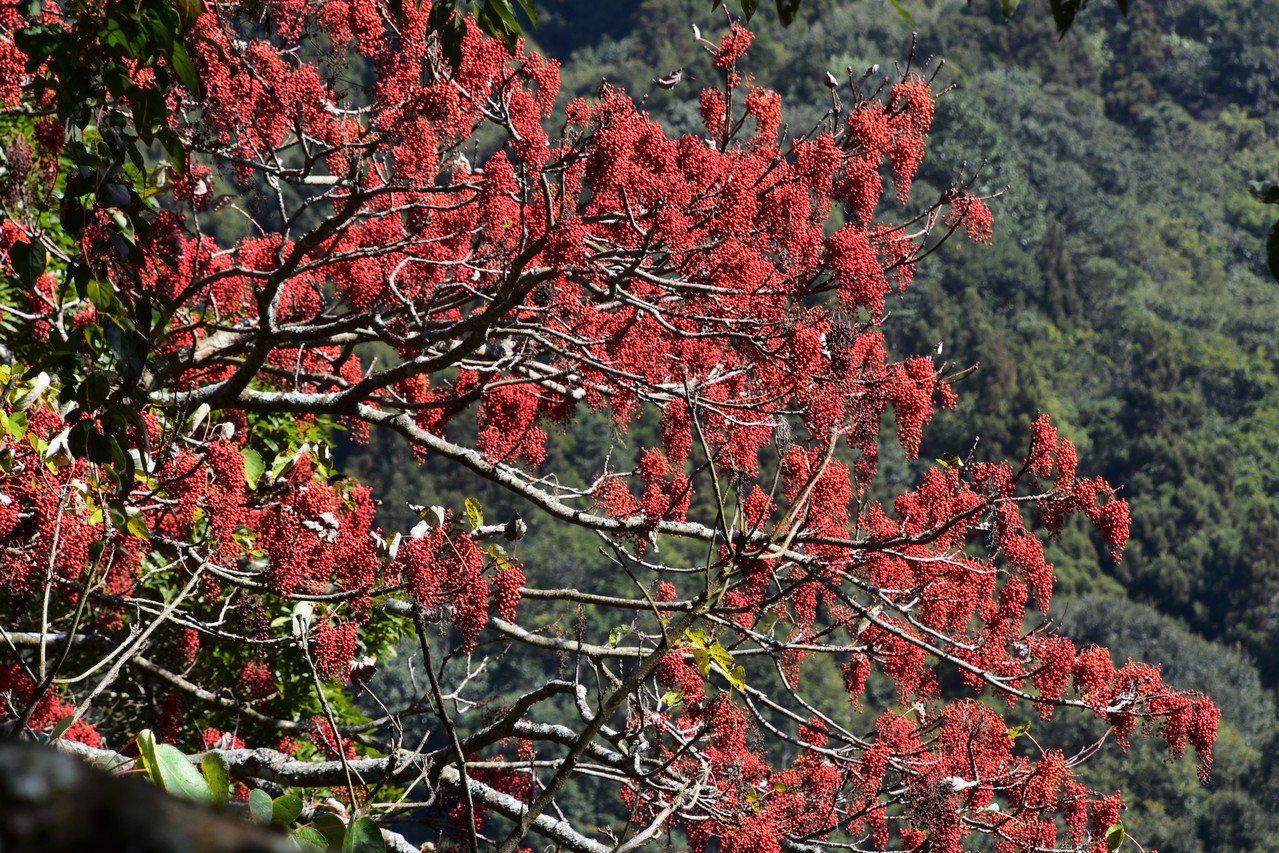 大雪山的櫻花已悄悄綻放,山桐子也紅燦燦的垂掛滿枝 圖/沈正柔 提供