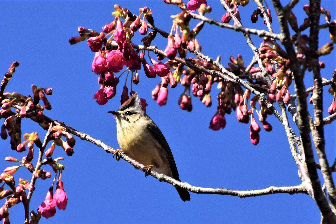 冠羽晝眉為台灣特有種,頭頂暗褐色及白色冠羽 圖/沈正柔 提供