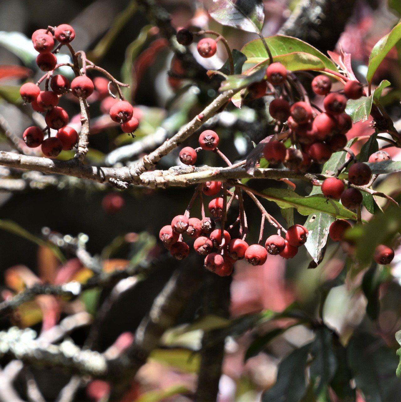 滿樹鮮红的玉山假沙梨果實今年顕得稀疏,枝頭也不見金翼白眉爭食。 圖/沈正柔 提供