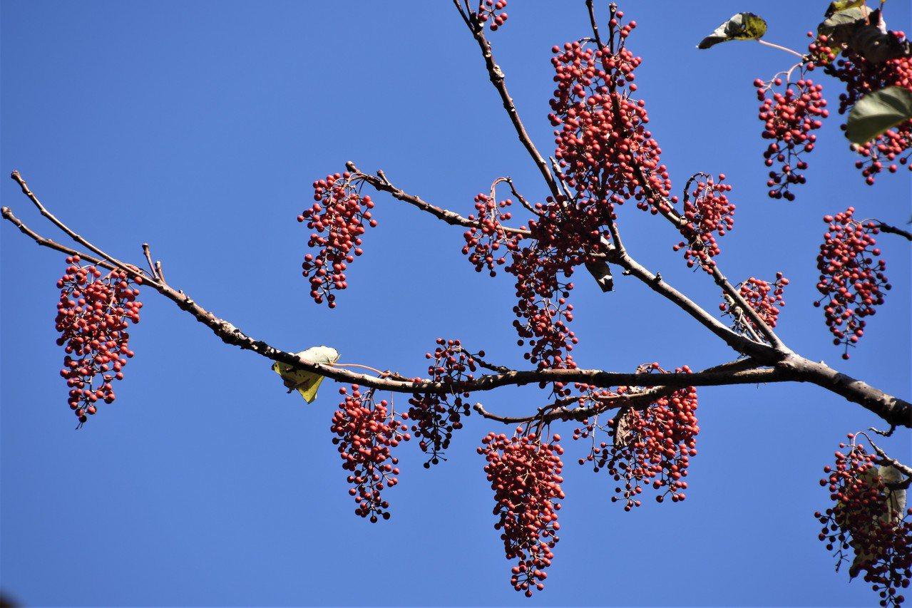 山桐子果實逐漸減少,鳥兒會更加暴露,搶食也將更為激烈。 圖/沈正柔 提供